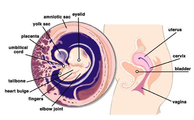 7 Weeks Pregnant